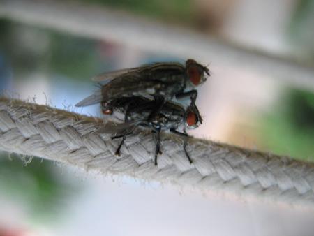 זבובים מזדווגים