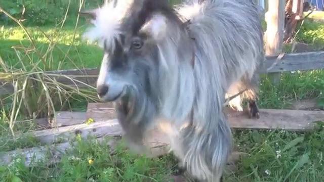 Goatbeatbox