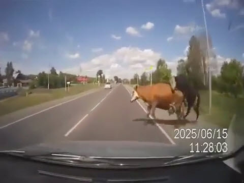 carsexcow